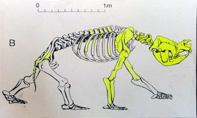 Zygomaturus skeleton drawing