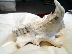 Zygomaturus skull